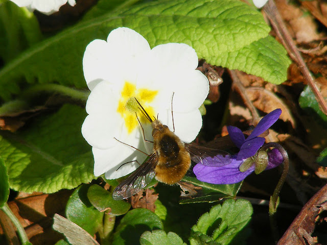 Dark-edged Bee Fly Bombylius major. Indre et Loire. France. Photo by Loire Valley Time Travel.