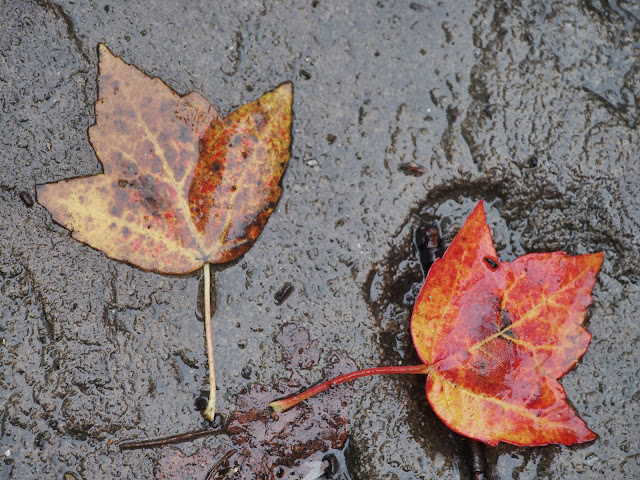 Right Angle #rightangle  #fall #fallincentralpark #leaves #foliage #fallenleaves #rainyday #nyc 2014