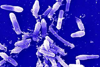 Bakteri Bacillus sp