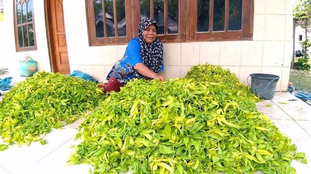 gresik24jam - Melihat Desa di Gresik Penghasil dan Pemasok Bunga Kenanga