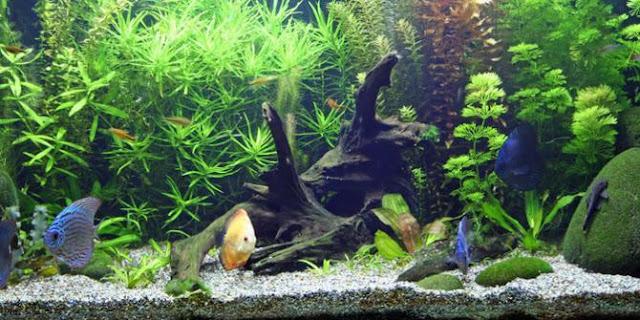Dunia Ikan Hias - Manfaat Tanaman Hias Air Dalam Aquarium Hias