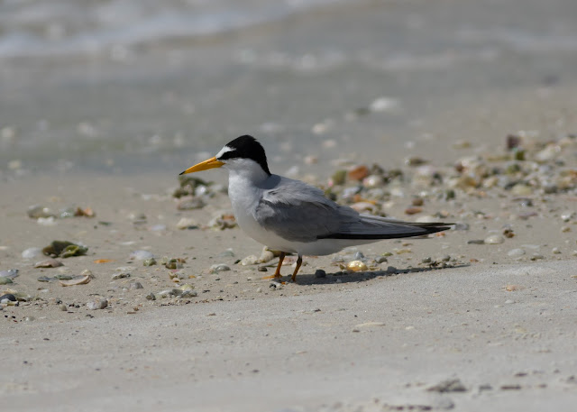 Least Tern - Carlos Pointe, Florida