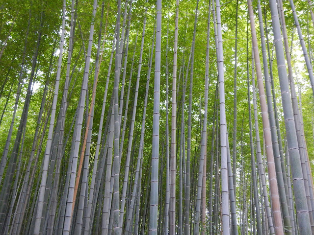 El denso bosque de bambú de Arashiyama