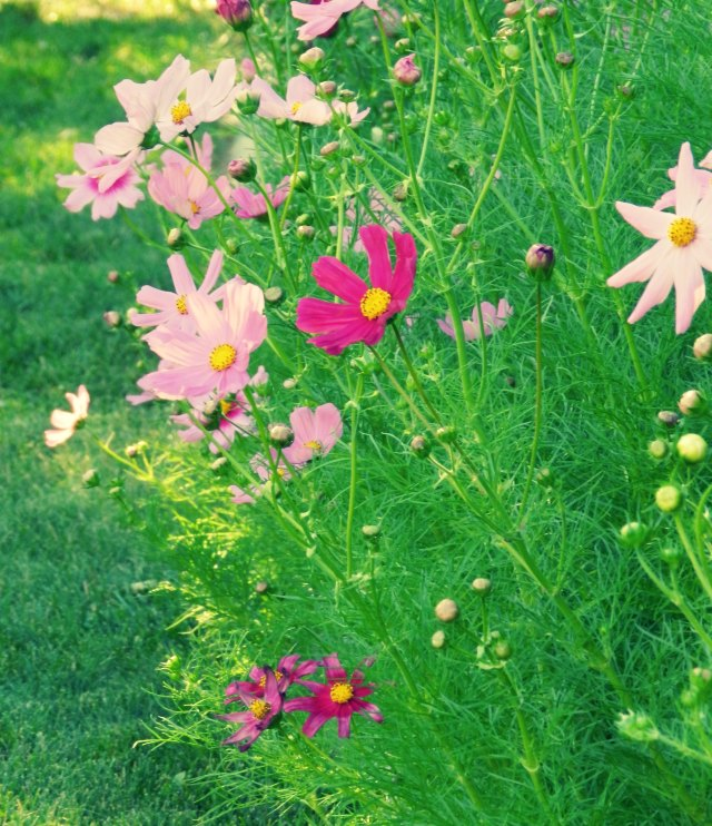 purple pink white cosmos flowers