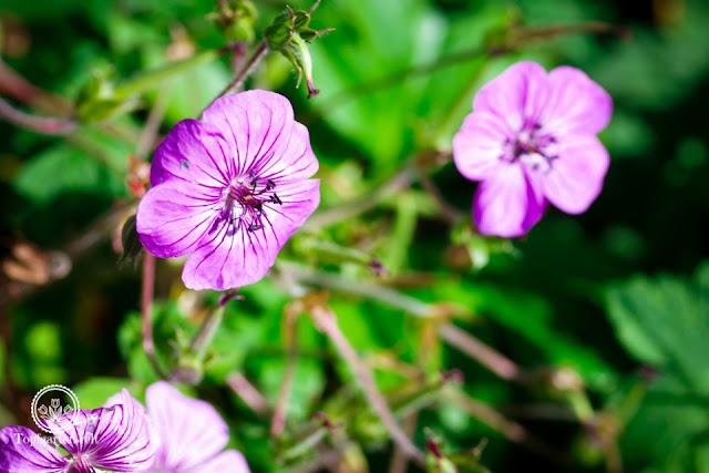 Herbstgarten - Storchenschnabel als Dauerblüher bis zum Frost - Gartenblog Topfgartenwelt