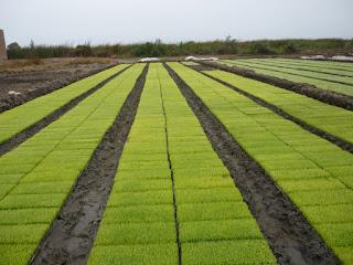 Mudas de arroz para serem transplantadas
