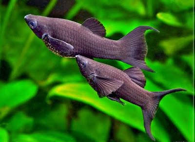 Peluang Usaha Budidaya Ikan Hias Moly Hasil Jutaan