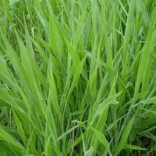 Các loại giống cỏ nuôi dê