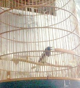 manfaat kontes untuk burung ocehan