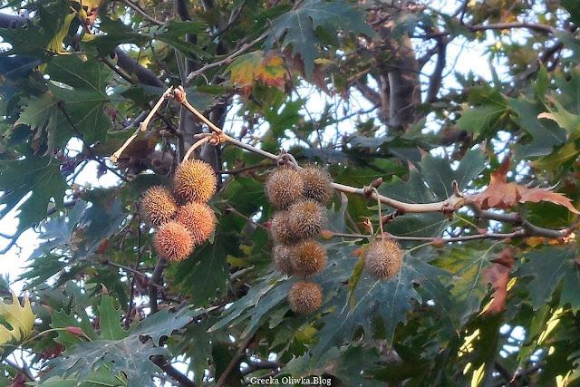 Gałązka kasztanowca obwieszona kasztanami, kasztanowy las, zielone liście kasztanowca Grecja