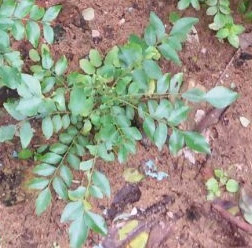 Curry Leaves (Kadi Patta) Reduces congestion in the chest and nose