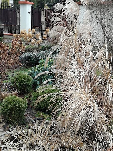 kolory zimowego ogrodu, miskanty i hortensje