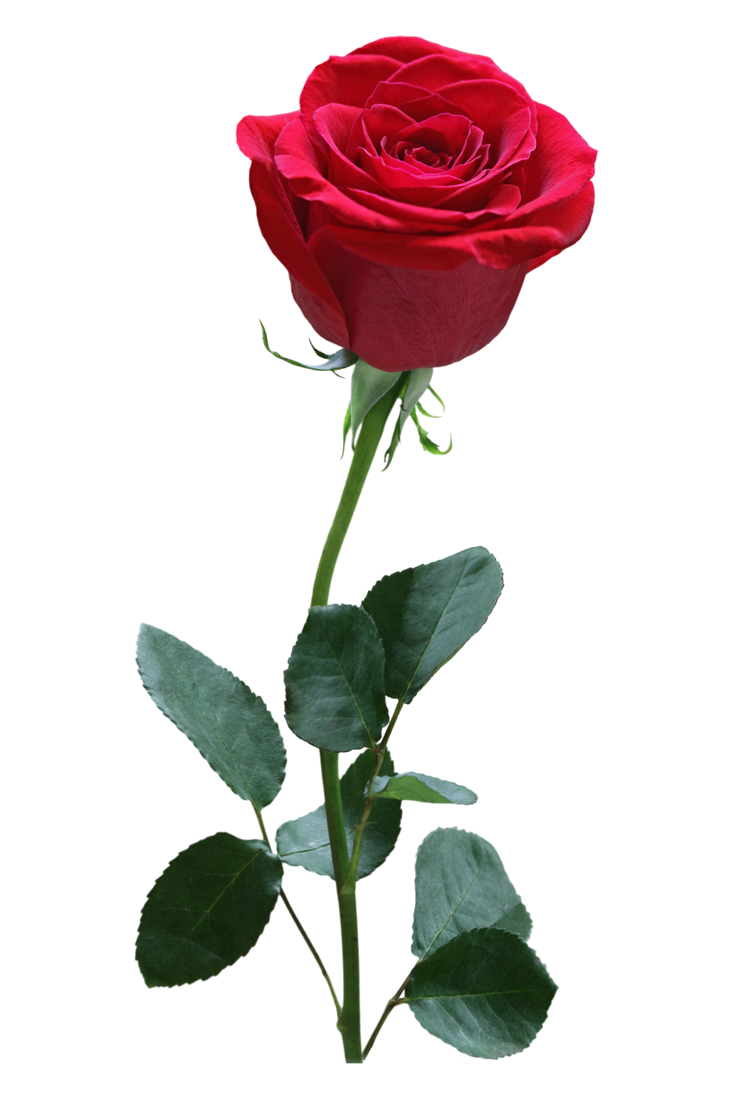 Online flower delivery withlovenregards roses to know their importance and association with various occasions so that you always give the correct rose to your loved ones on their special days izmirmasajfo