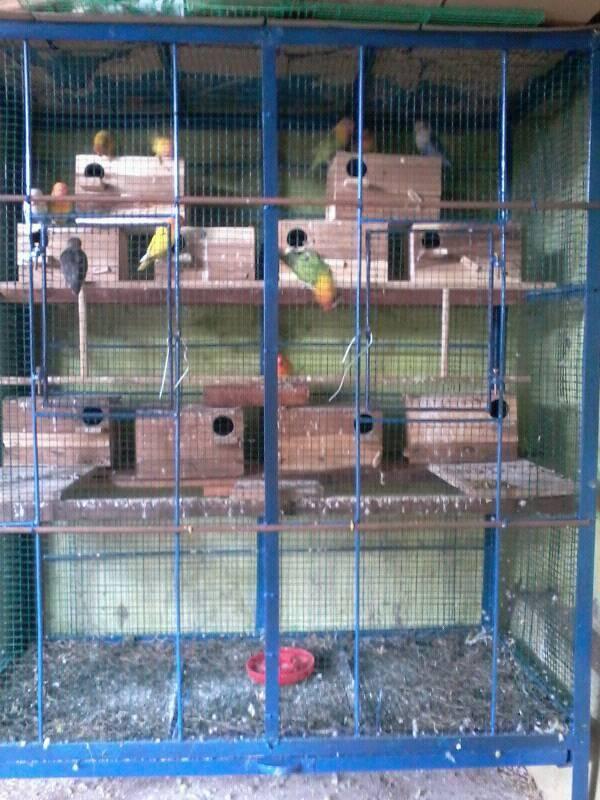 Cara Membuat Kandang Burung Lovebird : membuat, kandang, burung, lovebird, Membuat, Ternak, Lovebird, Dengan, Kandang, Koloni, Peternakan, Perkebunan