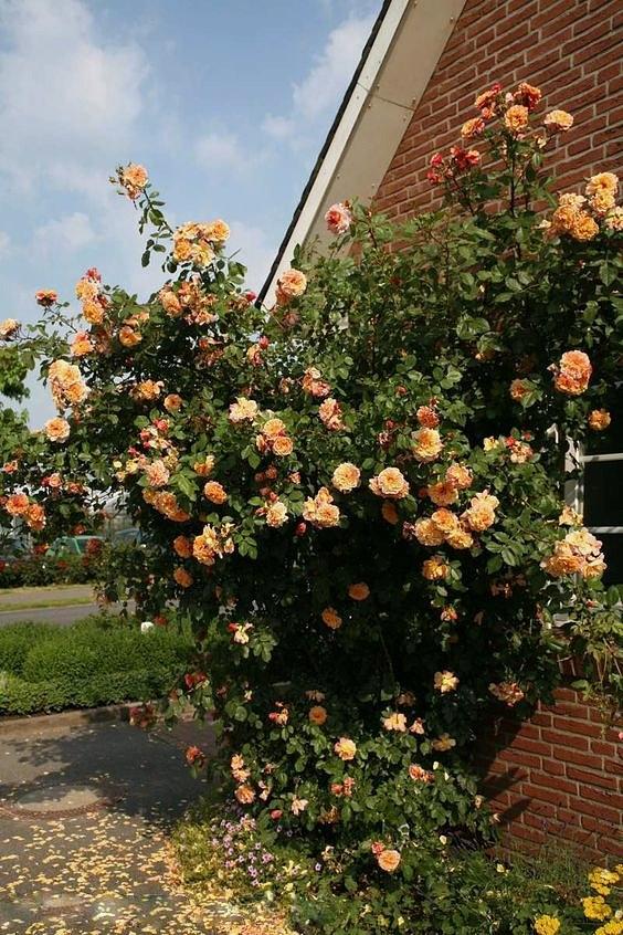 Плетистая роза алоха фото