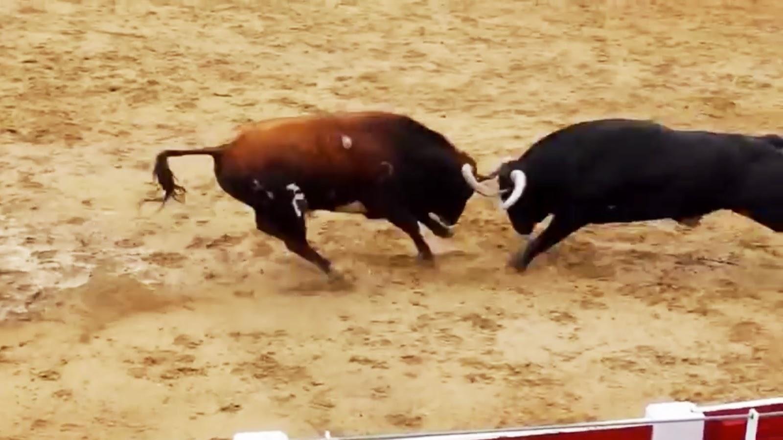 Toros Para Fondo De Pantalla 1920x1080 Fondos De Pantalla Hd