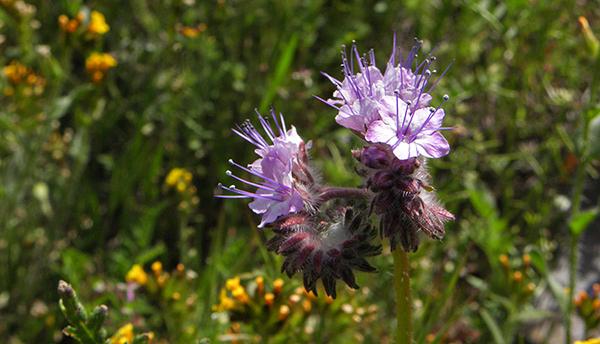 Lacey Phacelia, a purple phacelia