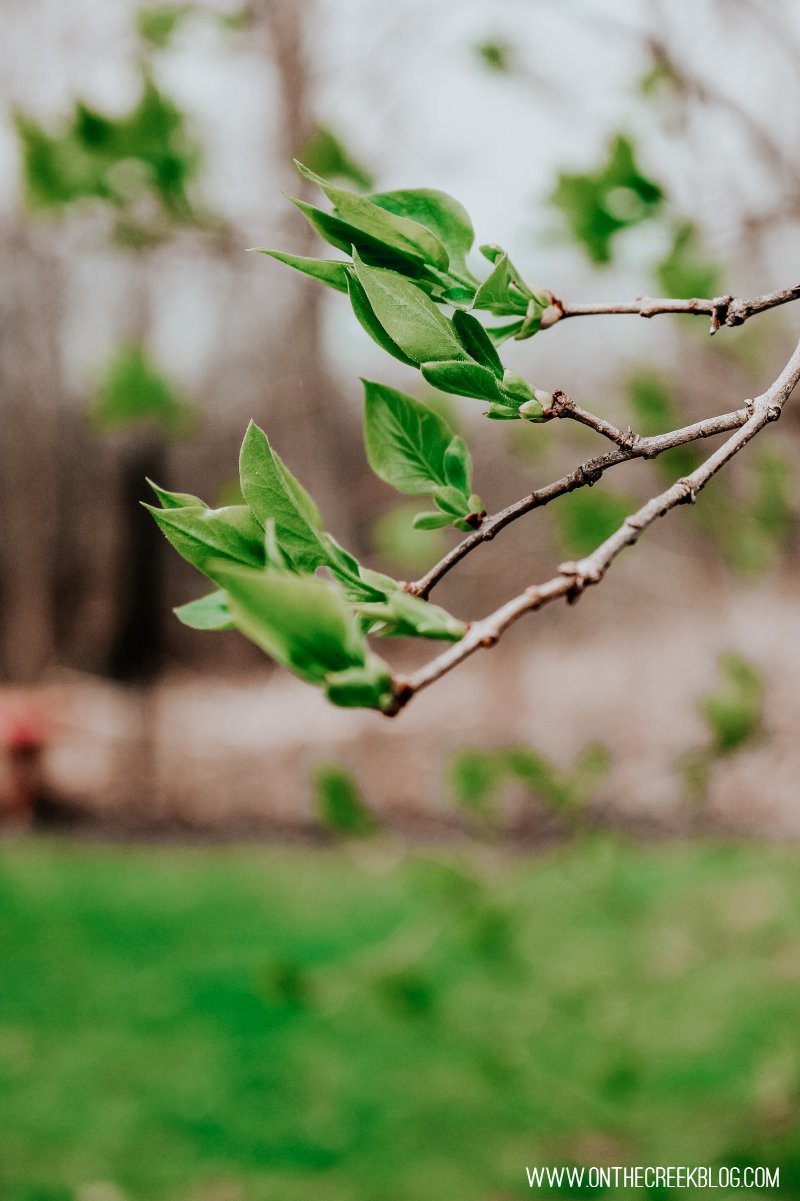 Spring leaves on a white lilac bush/tree!