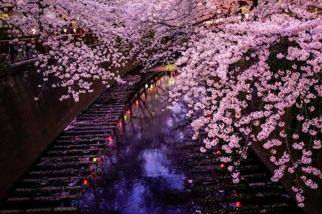 Hanami de japón flores de cerezo