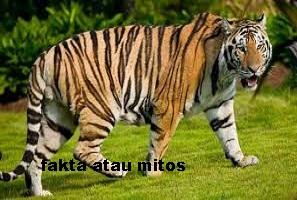https://faktaataumitosyo.blogspot.com/2018/05/fakta-atau-mitos-kulit-dan-bulu-seekor-harimau-memiliki-pola-bergaris-garis.html