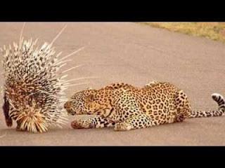 Apa yang terjadi jika macan tutul hendak memangsa seekor landak