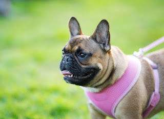 Get the Best Dog Harness for Your Dog's Body Type