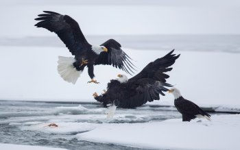 Wallpaper: Birds. Predators. Bald Eagle