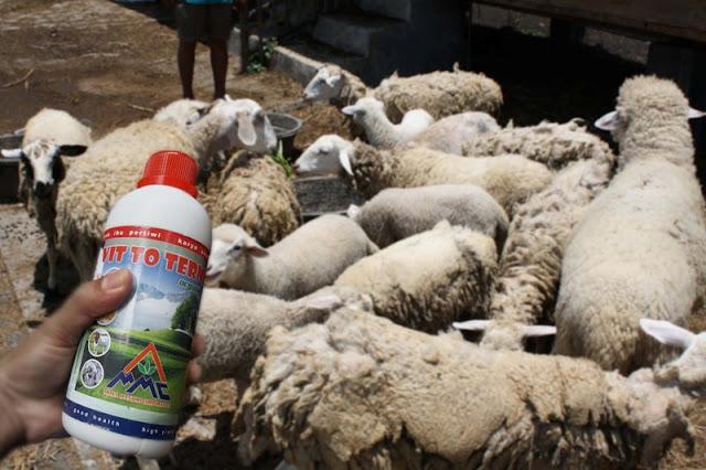Mosa Vitto Untuk Ternak Kambing Domba