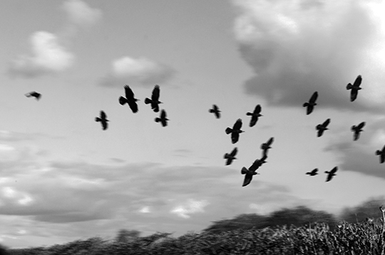 black and white photography, art, birds, blurred, nature, contemporary, Sam Freek,