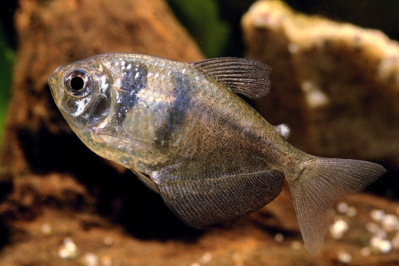 ikan tetra albino