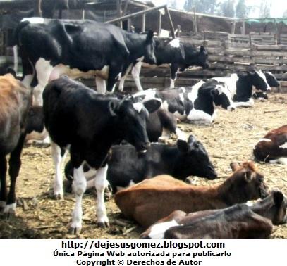 Foto de vacas en una granja de Jesus Gómez