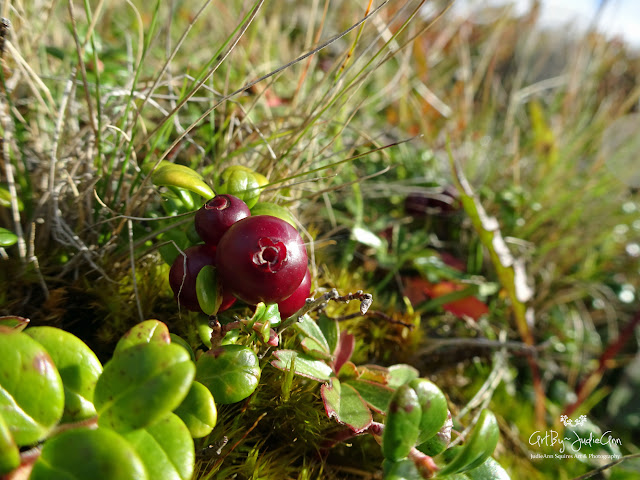Wild Mountain Cranberry