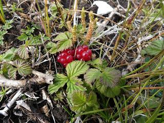 Ronce arctique - Rubus articus