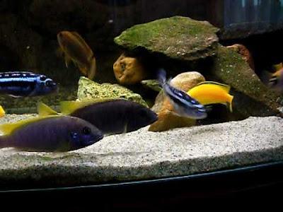 Ciclido Labidochromis Caeruleus