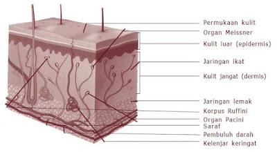 Lapisan dan Struktur Kulit Manusia beserta Fungsinya