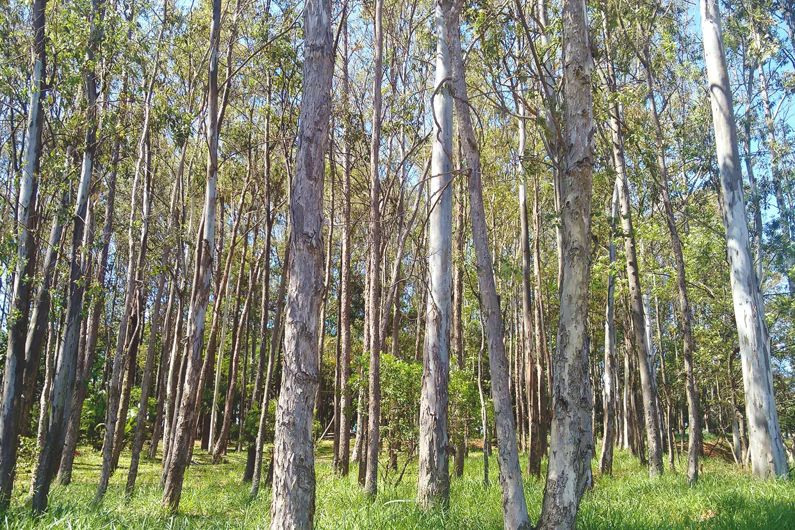 floresta tronco compridos árvores