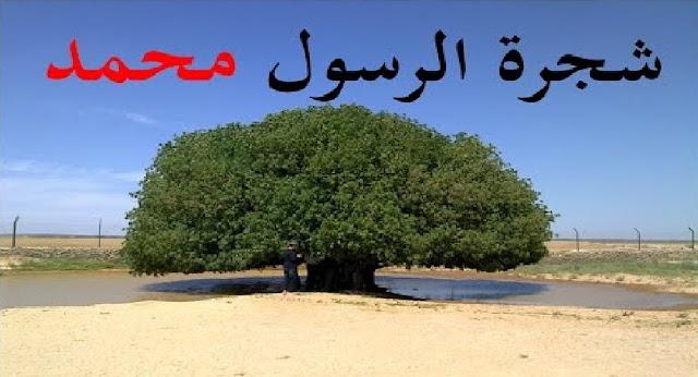 شاهد الشجرة التي استظل بها نبينا محمد قبل 1400عام لم تذبل ولم تمت ليومنا هذا معجزة لا تصدق
