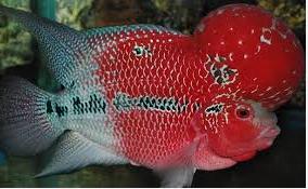 Ikan Hias Air Tawar Termahal Ikan Hias Louhan