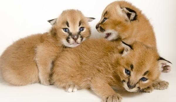 kucing caracal kucing paling eksotis di dunia-4