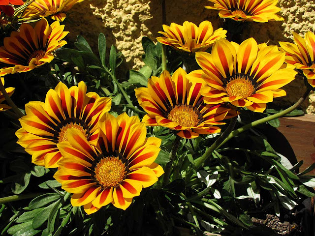 Yellow flowers in a planter, Livorno