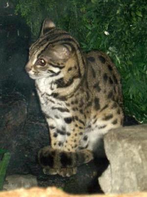 Kucing congkok atau kucing leopard asli indonesia