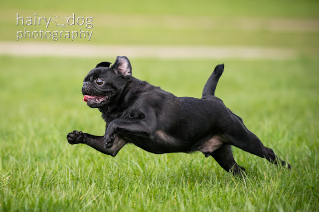 pug photo, jumping pug dog photography, aberdeen