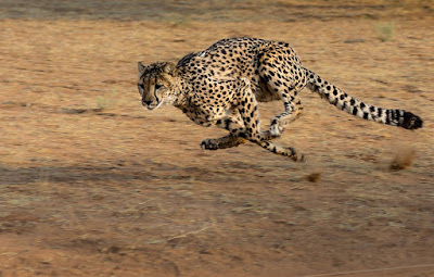 interesting facts about cheetahs