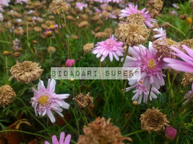 Kesegaran Bunga di Cameron Highland.