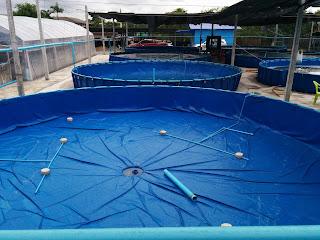 Aquaculture multiuse foldable tanks: Shrimp hatchery and