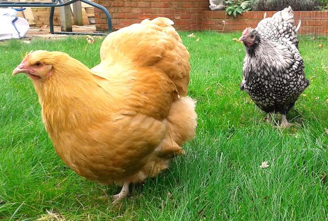 Felicity Jane Orpington hens exploring garden