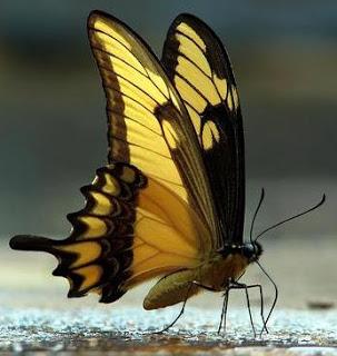 Foto de una mariposa de color amarillo y negro