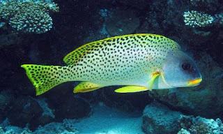 Haemulidae (ikan bibir tebal)