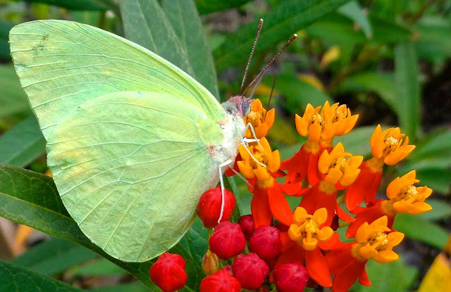 Cloudless sulphur butterfly drinking from milkweed