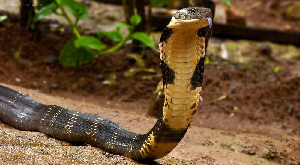 King Cobra Snake Photos: Snakes: Longest King Cobra Snake
